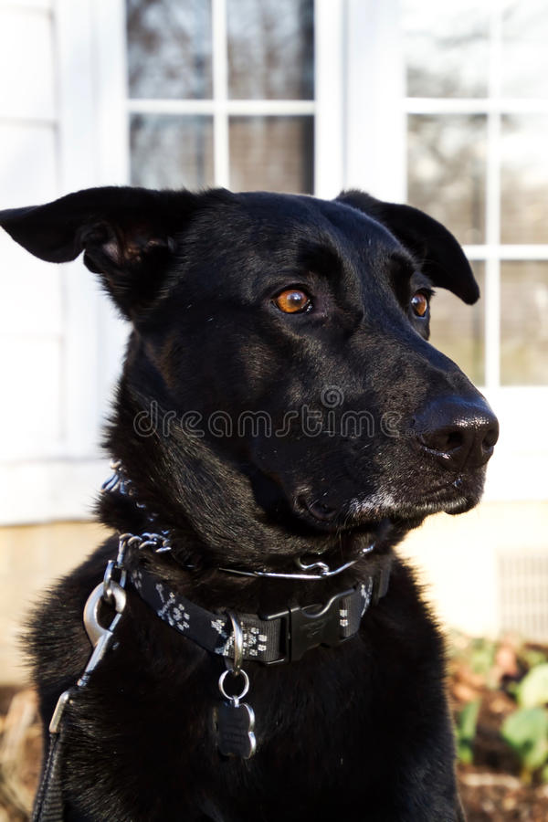 Concept shot of beautiful Black Shepherd mixed-breed dog posing. Concept shot of Black Shepherd mixed-breed rescue dog posing in front yard of home with wide stock image