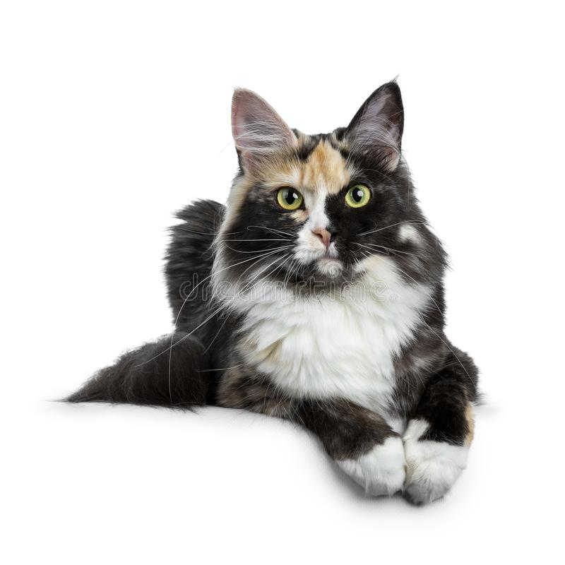 Beautiful black smoke tortie Maine Coon cat girl laying isolated on white background with two paws over edge and looking straight stock photography
