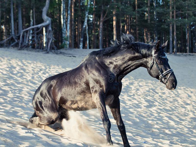 Beautiful black stallion standing up after laying at sand stock photo