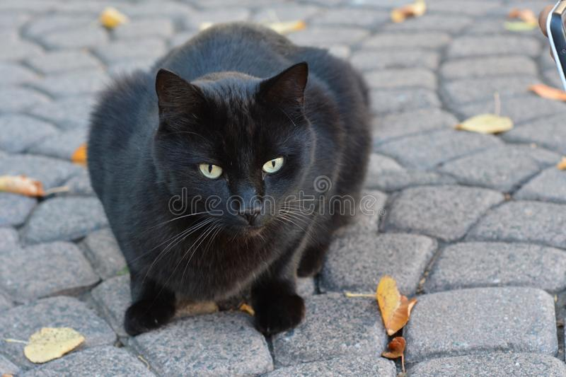 Beautiful black stray cat portrait on cobblestone. Beautiful black stray cat portrait wild eyes laying on cobblestone with street background stock image