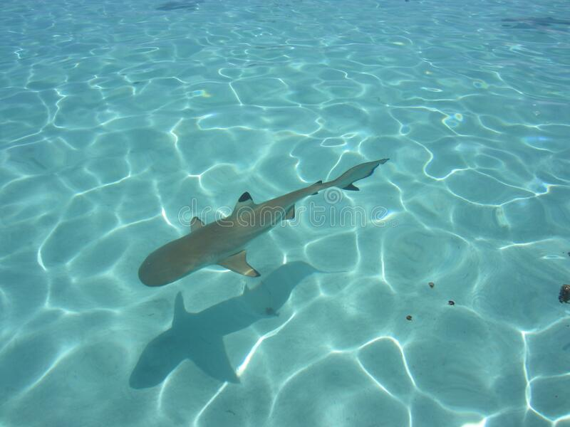Black tip shark. Beautiful black tip shark in Bora Bora royalty free stock photos