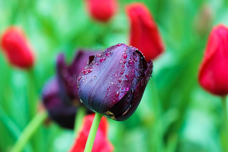 Beautiful black tulip detail. Blurred green red background. Dark purple tulips. Holland tulips. Netherlands, Dutch flowers. royalty free stock images