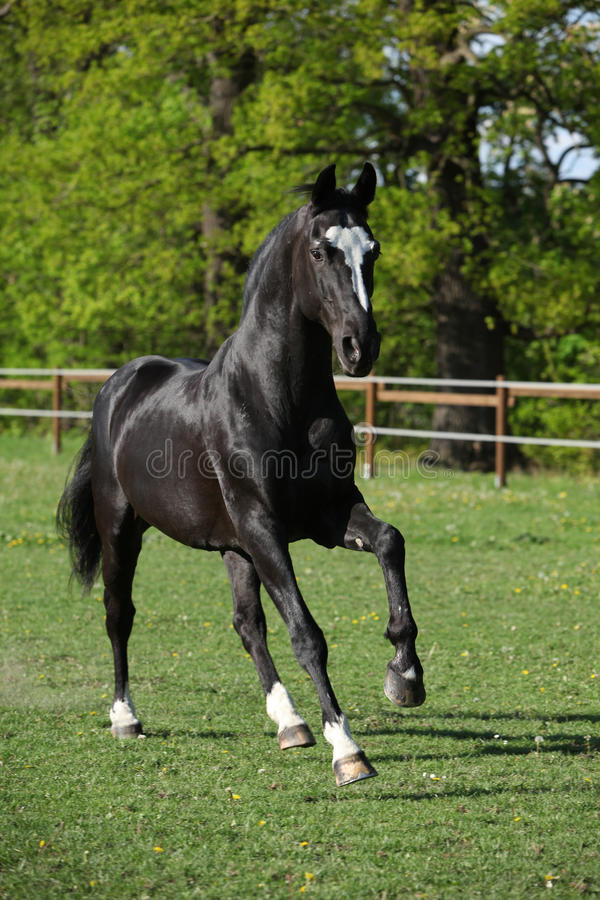 Beautiful black warmblood running on pasturage. In spring stock photo