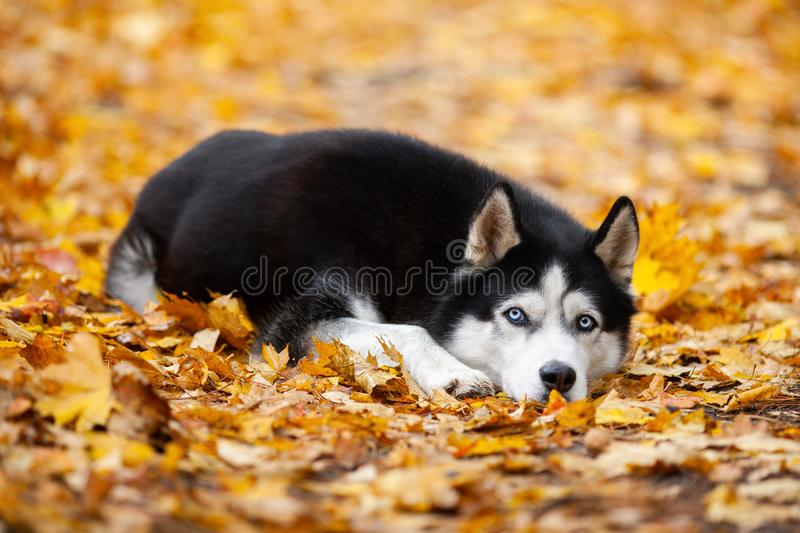 Beautiful black-and-white blue-eyed Siberian Husky lies in the yellow autumn leaves. Cheerful autumn dog royalty free stock photos
