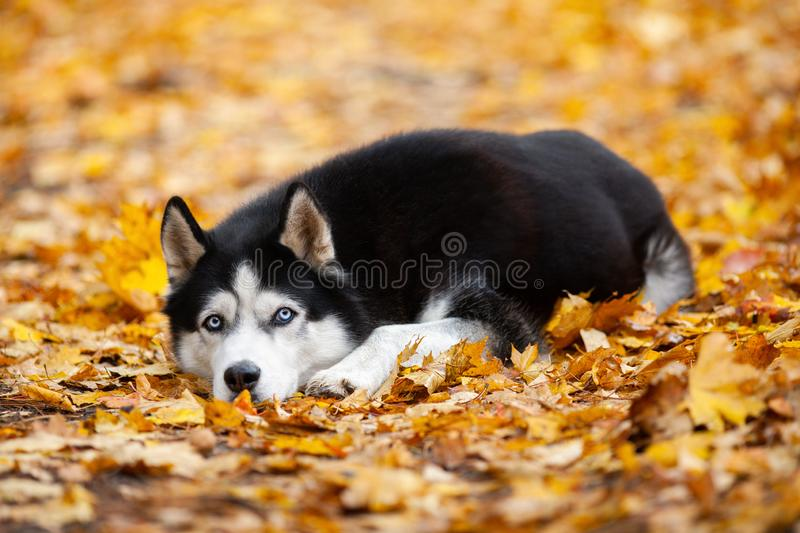 Beautiful black-and-white blue-eyed Siberian Husky lies in the yellow autumn leaves. Cheerful autumn dog. stock images