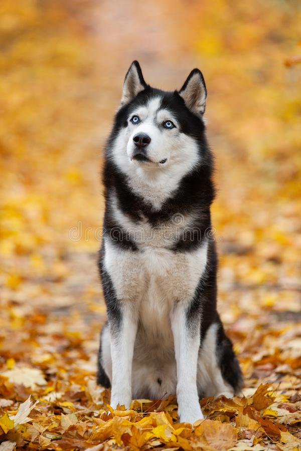 Beautiful black-and-white blue-eyed Siberian Husky sitting in the yellow autumn leaves. Cheerful autumn dog royalty free stock image