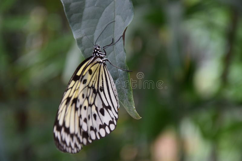 A beautiful black and white butterfly on green leaf. Shot in Mariposario de Benalmádena-Butterfly Park in Benalmadena stock images