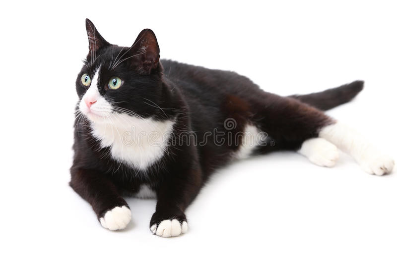 Beautiful black and white cat. Over white background stock photos
