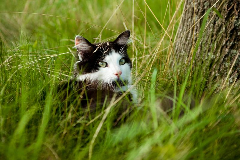 Black and white cat. Beautiful black and white cat with green eyes, see, raising up the muzzle royalty free stock photos