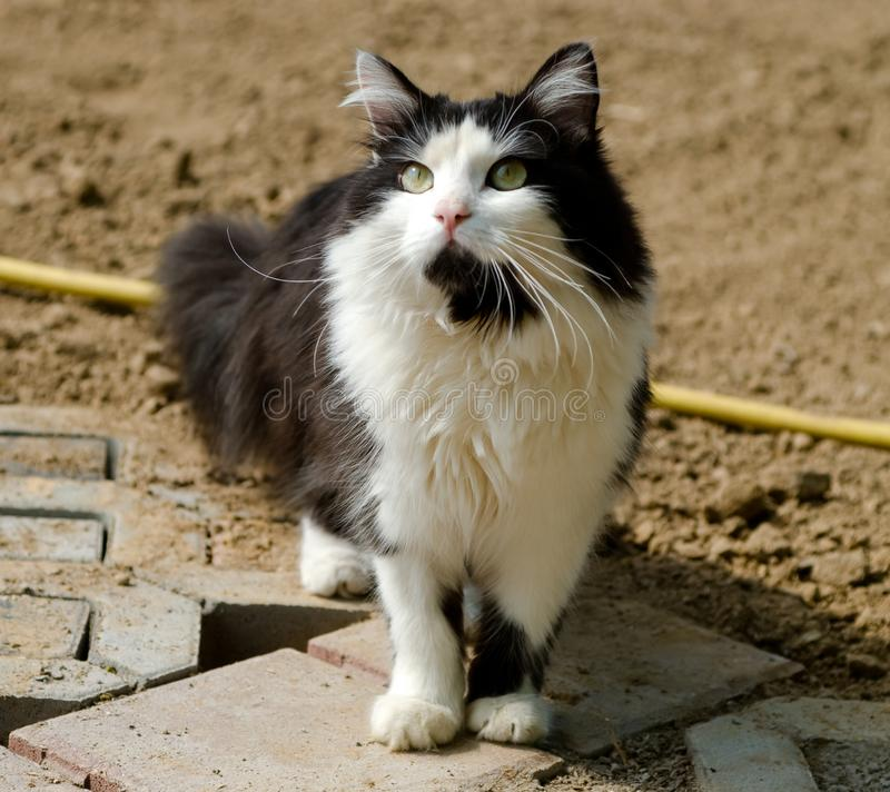 Black and white cat. Beautiful black and white cat with green eyes, see, raising up the muzzle royalty free stock photography