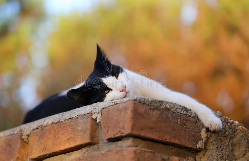 Black and white cat. Beautiful black and white cat lying on the wall stock photo