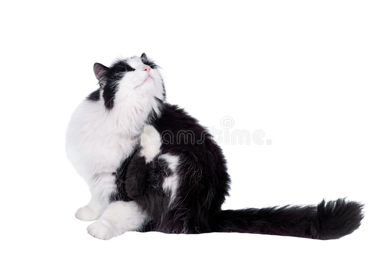 Beautiful black and white male cat. Black and white cat on white isolated background royalty free stock photo