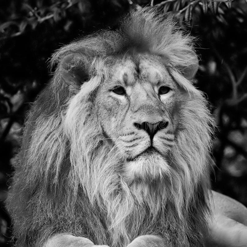 Beautiful portrait of Asiatic Lion Panthera Leo Persica in black. Beautiful black and white portrait of Asiatic Lion Panthera Leo Persica royalty free stock photos