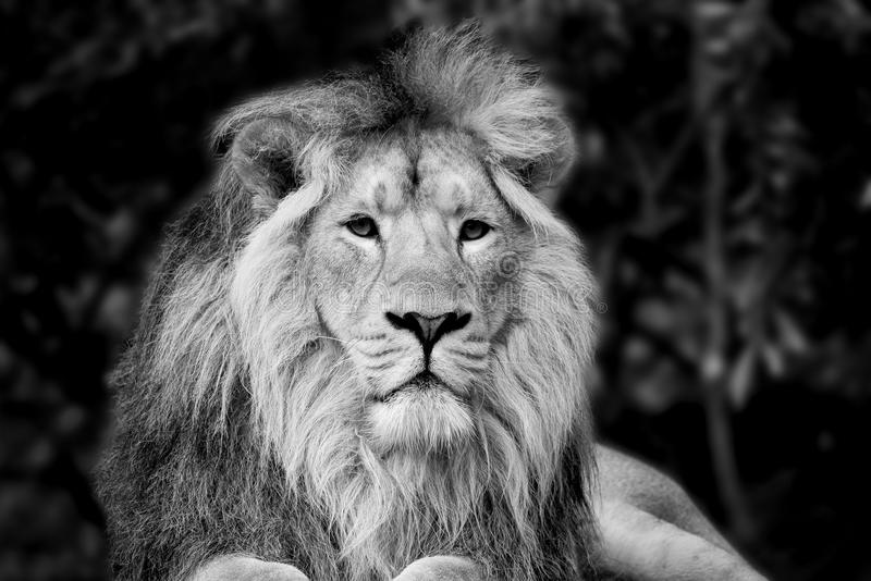 Beautiful portrait of Asiatic Lion Panthera Leo Persica in black. Beautiful black and white portrait of Asiatic Lion Panthera Leo Persica royalty free stock images