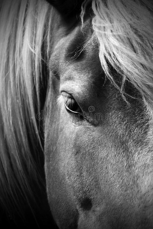 Beautiful Black and White Portrait of a Horse royalty free stock photography