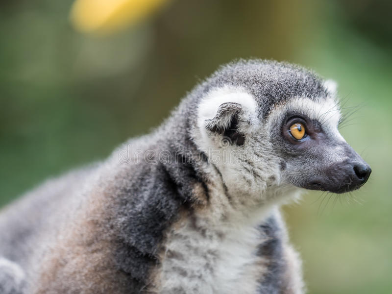 Beautiful black and white ring-tailed lemur close up profile royalty free stock photos