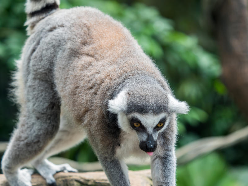 Beautiful black and white ring-tailed lemur close up profile royalty free stock photo