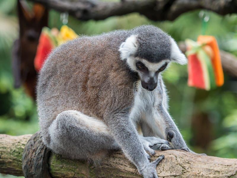 Beautiful black and white ring-tailed lemur close up profile stock image