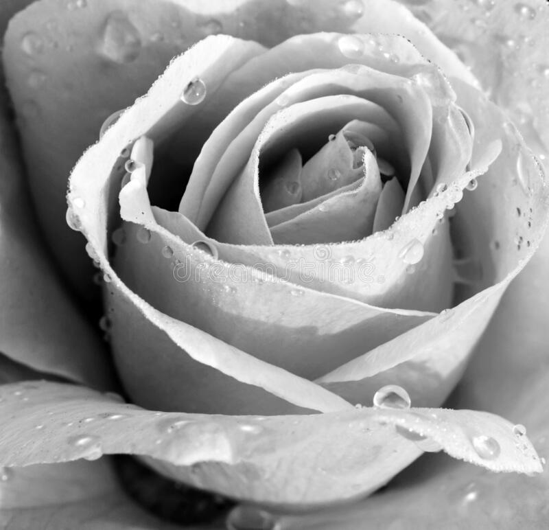 Beautiful Black and White Rose. With Water Droplets On Petals royalty free stock image