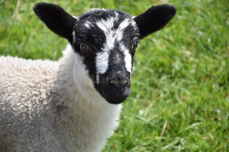 Beautiful Black and White Speckled Lamb in England stock photos