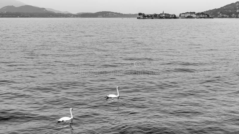 Beautiful black and white view of two swans swimming in Lake Maggiore, with the Borromean Islands in the background, Italy stock image