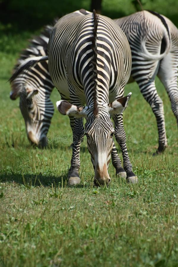 Beautiful black and white zebras grazing in a field royalty free stock image