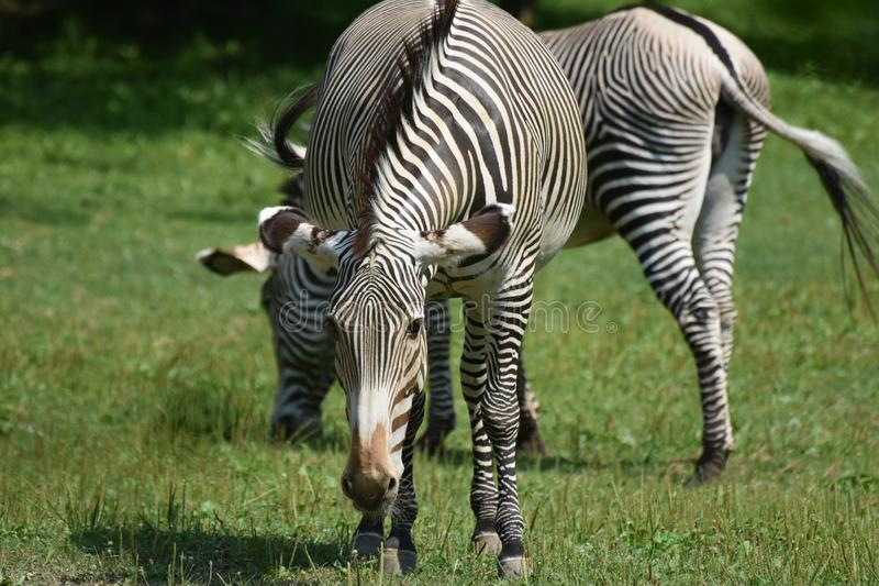 Beautiful black and white zebras grazing in a field stock images