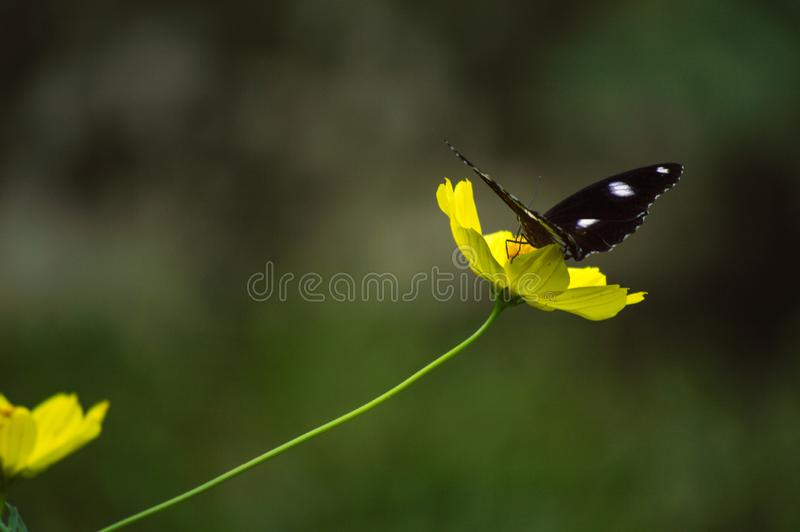 Beautiful black wild butterfly sitting on yellow petal flower stock images