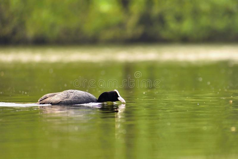 A beautiful black wild duck floating on the surface of a pond Fulica atra, Fulica previous.  royalty free stock photo