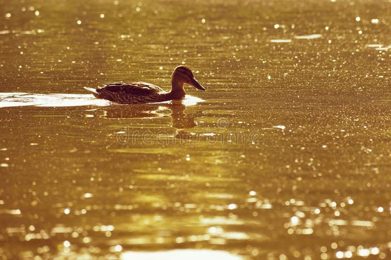 A beautiful black wild duck floating on the surface of a pond Fulica atra, Fulica previous.  royalty free stock photos