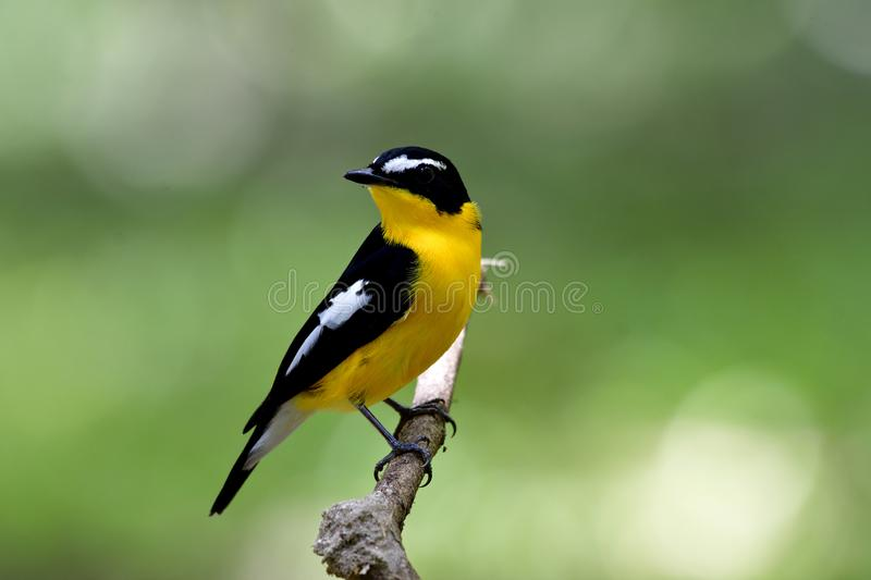 Beautiful black and yellow bird with white spot on its wings per. Ching on a branch showing its fine bright breasted feathers, nature, wildlife, creature stock photo