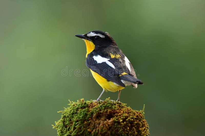 Beautiful black and yellow bird with white spot on its wings showing its back and tail profile while perching on mossy spot over. Fine green background in stock photography