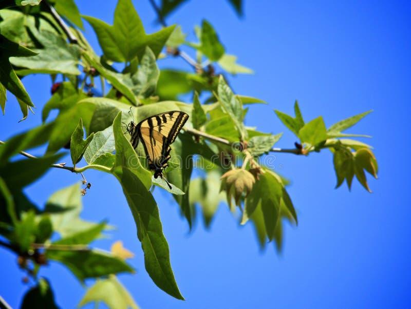 Tiger swallowtail butterfly tree. Beautiful black and yellow striped wing swallowtail butterfly lands in green leaf tree stock photo
