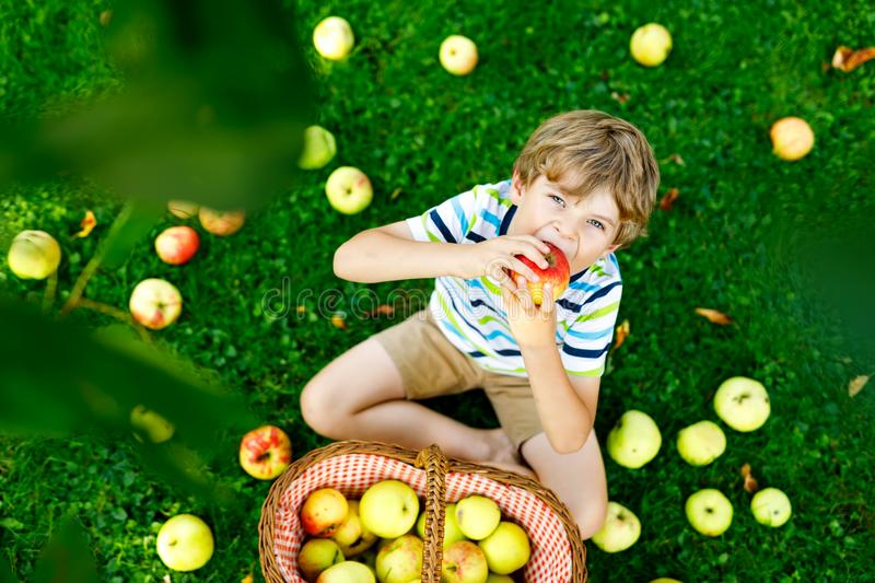 Little kid boy picking red apples on farm autumn. Beautiful blond happy kid boy picking and eating red apples on organic farm, autumn outdoors. Funny little stock photos