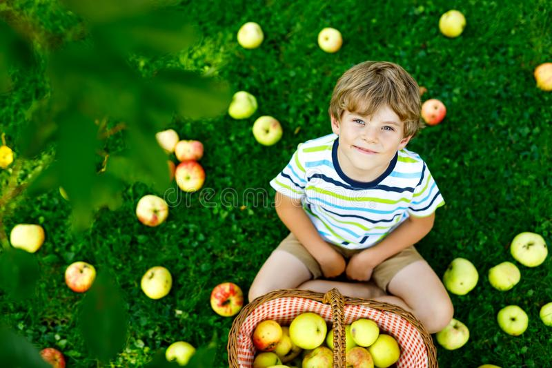 Little kid boy picking red apples on farm autumn. Beautiful blond happy kid boy picking and eating red apples on organic farm, autumn outdoors. Funny little royalty free stock image