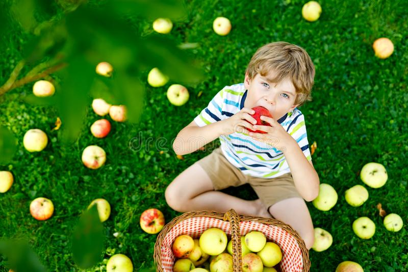 Little kid boy picking red apples on farm autumn. Beautiful blond happy kid boy picking and eating red apples on organic farm, autumn outdoors. Funny little stock photography