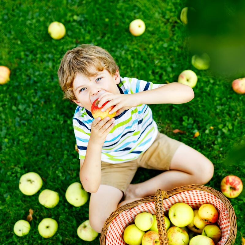 Beautiful blond happy kid boy picking and eating red apples on organic farm, autumn outdoors. Funny little preschool stock photography