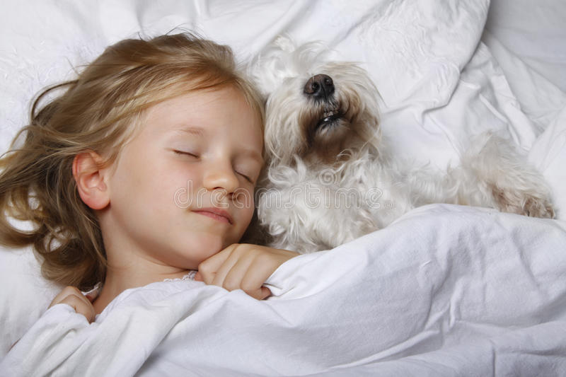 Beautiful blonde little girl sleeping with white schnauzer puppy dog on white bed. Friendship concept. royalty free stock images