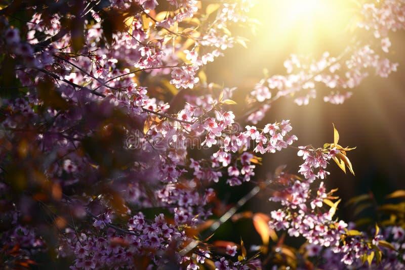 Beautiful bloom pink cherry blossom sakura flowers on morning sunlight background, Spring flower field background. stock photography