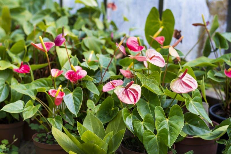 Beautiful blooming red Amaryllis flowers. Beautiful blooming amaryllis flowers in hothouse . Sofia Botanical Garden royalty free stock image