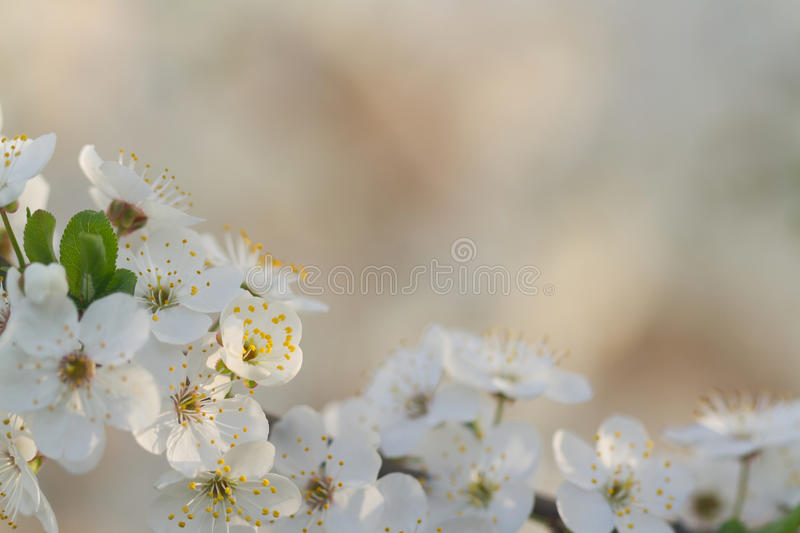 Beautiful blooming of apple tree in spring stock photography