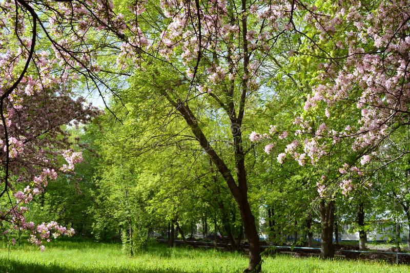 Beautiful blooming apple tree in spring park. Pink flowers. On the background of green foliage royalty free stock image