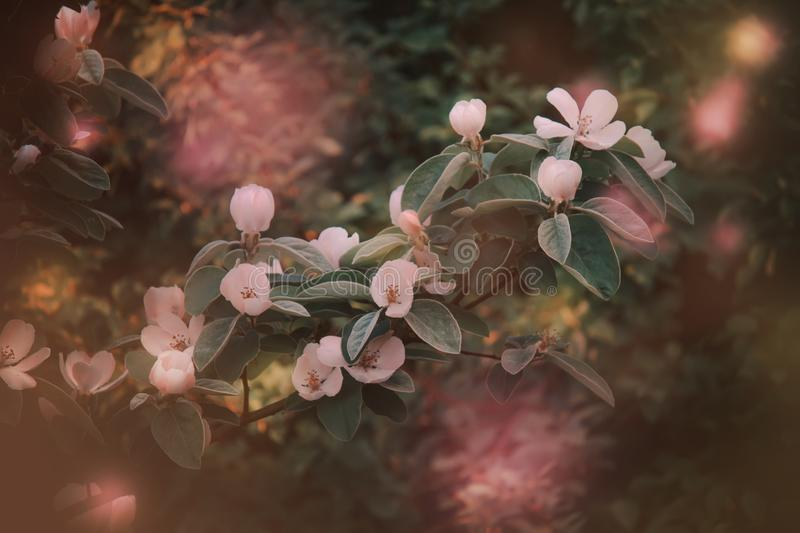 Beautiful blooming apple trees, spring natural background with fabulous bokeh effect, outdoor nature, soft focus, partially royalty free stock photos