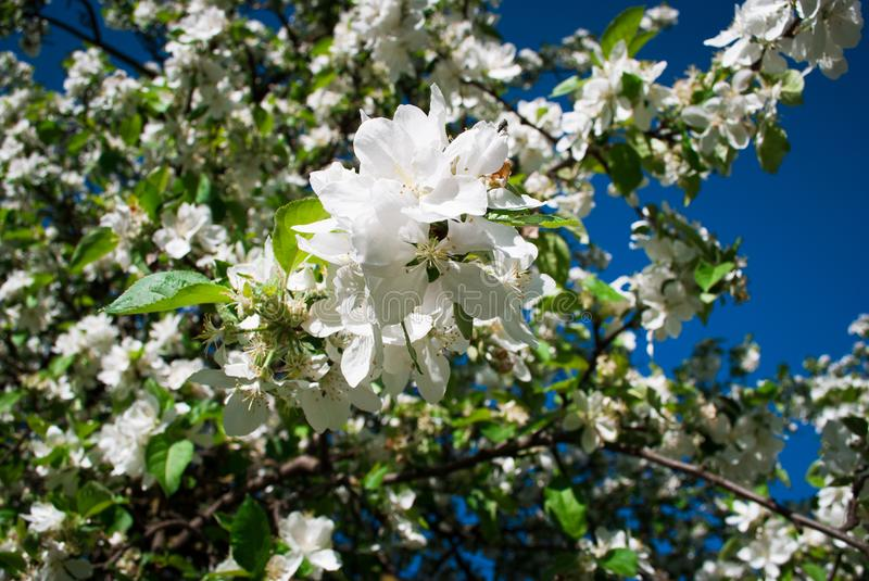 Beautiful blooming apple trees in spring park close up. Beautiful blooming apple trees in spring park stock photo