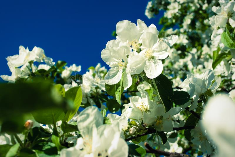 Beautiful blooming apple trees in spring park close up. Beautiful blooming apple trees in spring park royalty free stock images