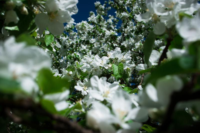 Beautiful blooming apple trees in spring park. Close up royalty free stock image