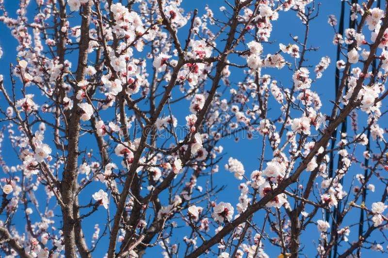 Beautiful blooming apricot tree and blue clear sky. stock images
