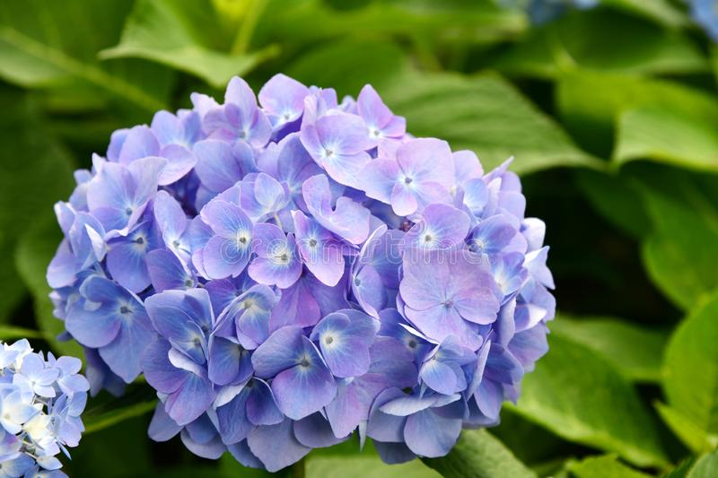 Beautiful blooming blue and purple Hydrangea or Hortensia flowers Hydrangea macrophylla under the sunlight on blur background. stock photo