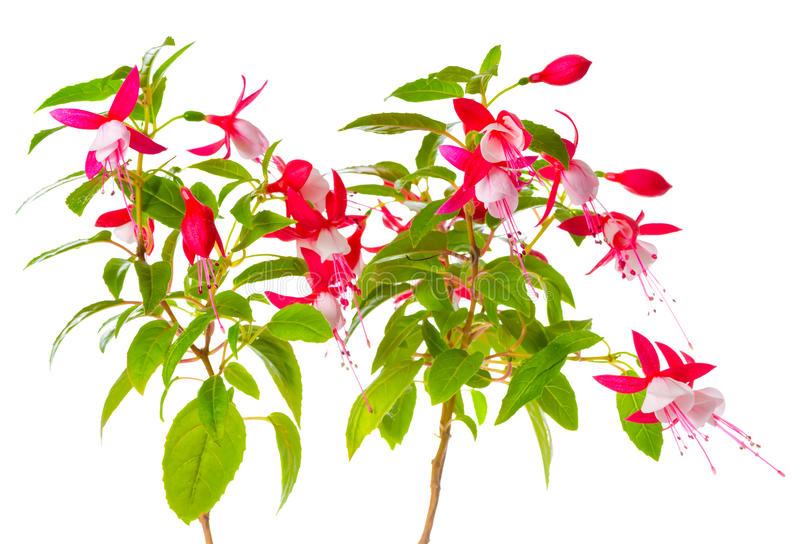 Beautiful blooming branch of red and white fuchsia flower is isolated on background, `Shadow Dancer Betty` stock photos