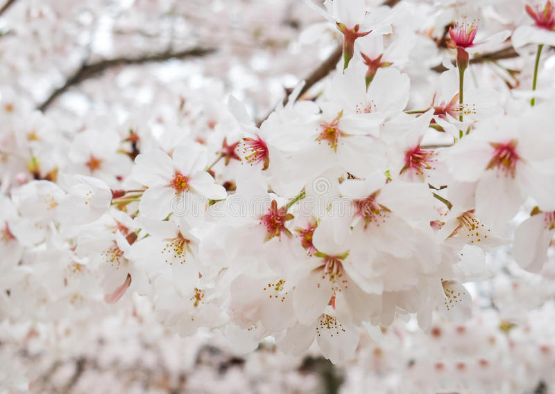 Beautiful blooming branch of white sakura flowers or cherry blossom download beautiful blooming branch of white sakura flowers or cherry blossom flowers blooming on the tree mightylinksfo